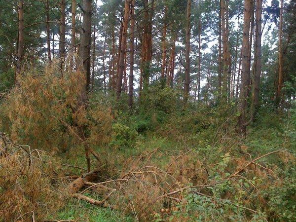 Drzewa na pniu w gminie Sztabin